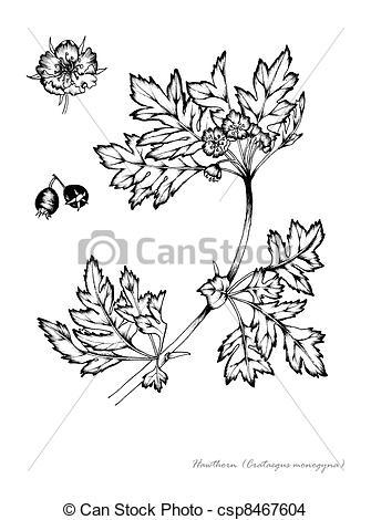 Drawing of Hawthorn (Crataegus monogyna) csp8467604.