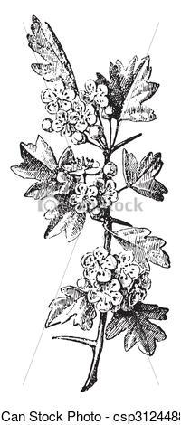 Stock Illustration of Crataegus, vintage engraving..