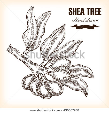 American Hawthorn Crataegus Crusgalli Vintage Engraving Stock.