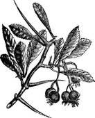Clipart of American Hawthorn or Crataegus crus.