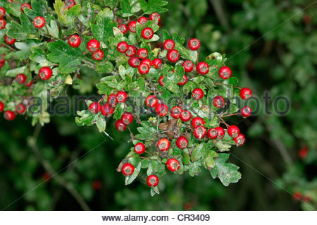 Crataegus Stock Photos & Crataegus Stock Images.