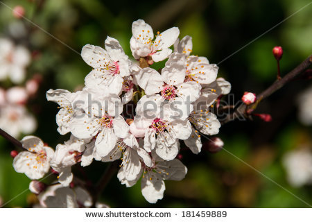 English Hawthorn Stock Photos, Images, & Pictures.