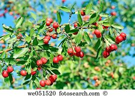 Crataegus Images and Stock Photos. 660 crataegus photography and.