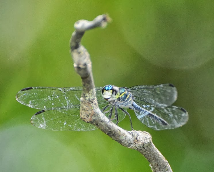 A Wandering Naturalist: West Malaysia: Merapoh Dragonflies.