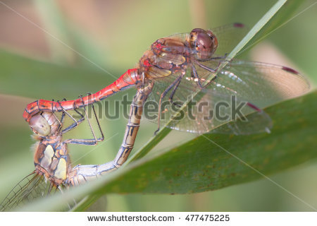 Mating Dragonflies Stock Photos, Royalty.