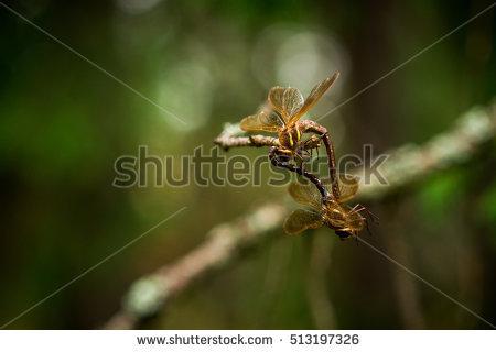 Mating Dragonflies Stock Photos, Royalty.