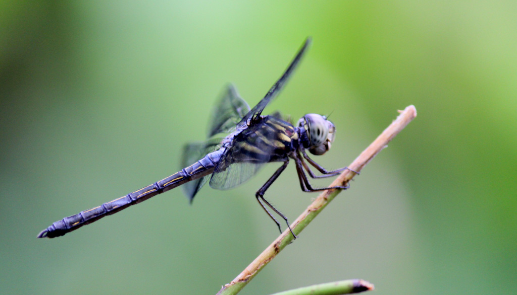 Odonata of Bangladesh.
