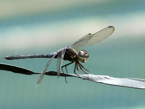 Cratilla lineata emerald banded skimmer insect Free stock photos.