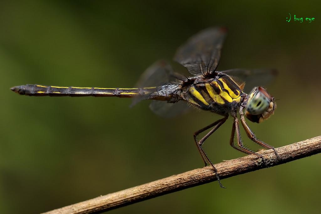 แมลงปอบ้านแม่กางขีดยาว / Cratilla lineata (Brauer, 1878) m….