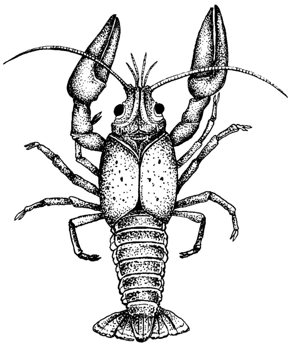 Crawfish Clipart.