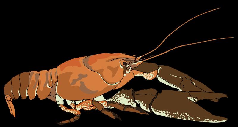 Crayfish Clipart.