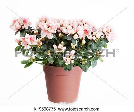 Stock Image of Blossoming azalea of a grade of Mevrouw Gerard Kint.