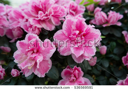 Azalea Pot Stock Photos, Royalty.