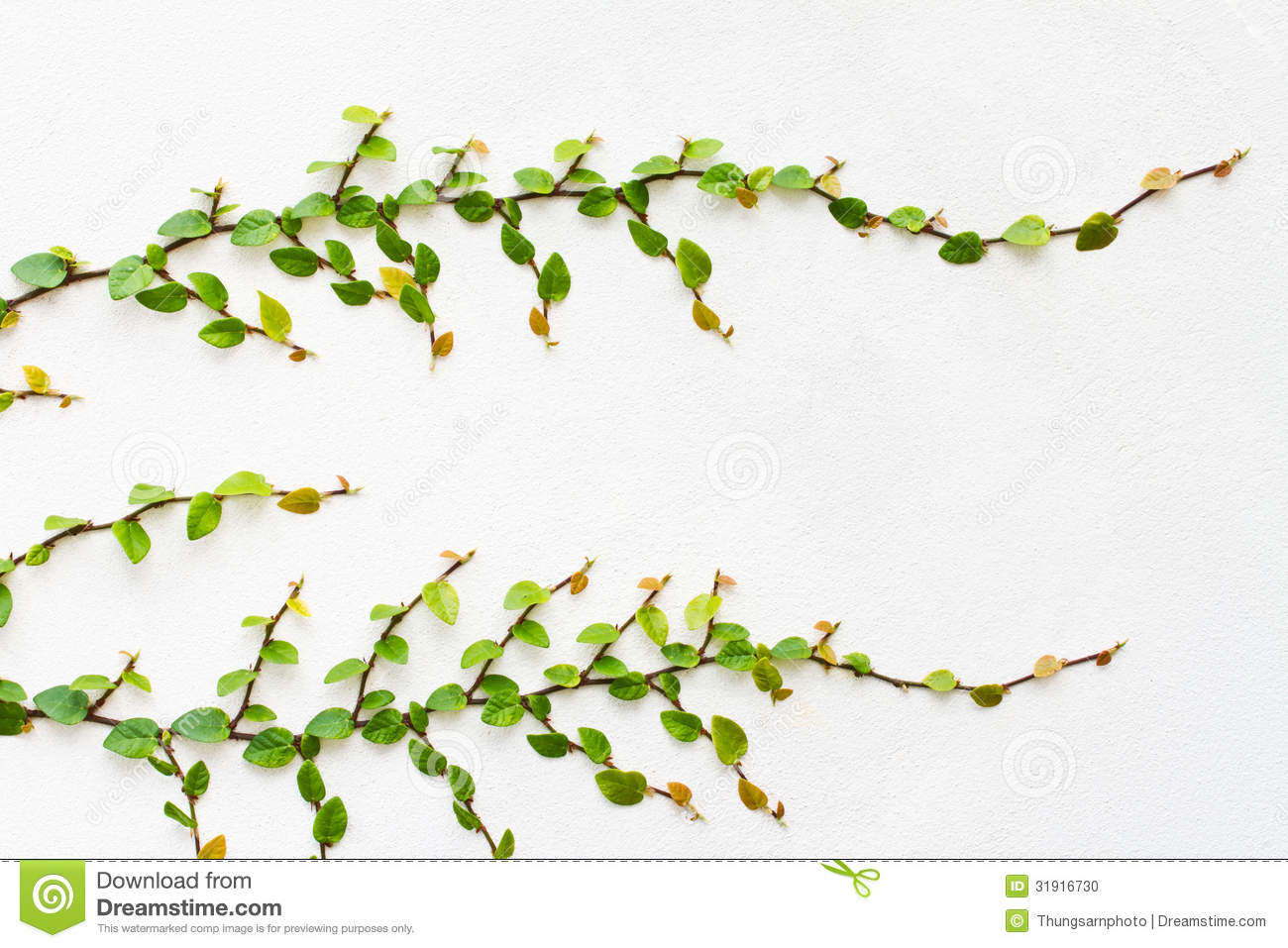 Creeper Plant On White Background Stock Photography.