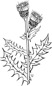 Creeping Thistle Coloring Page Clip Art at Clker.com.