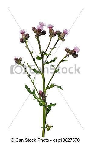 Picture of Creeping thistle (Cirsium arvense) csp10827570.