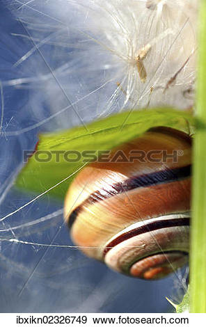 Stock Photograph of Snail (Helicidae) with creeping thistle seeds.