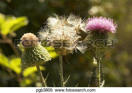 Stock Image of Thistle and thistledown in various stages from.