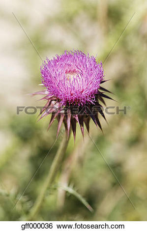 Stock Images of Croatia, Musk Thistle flower, close up gff000036.
