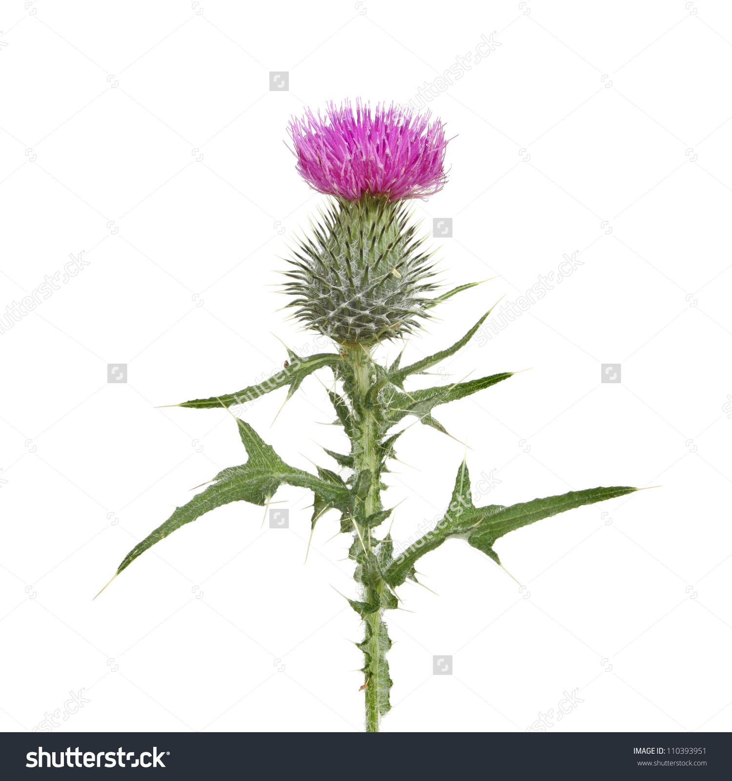 Thistle Flower Leaves Isolated Against White Stock Photo 110393951.
