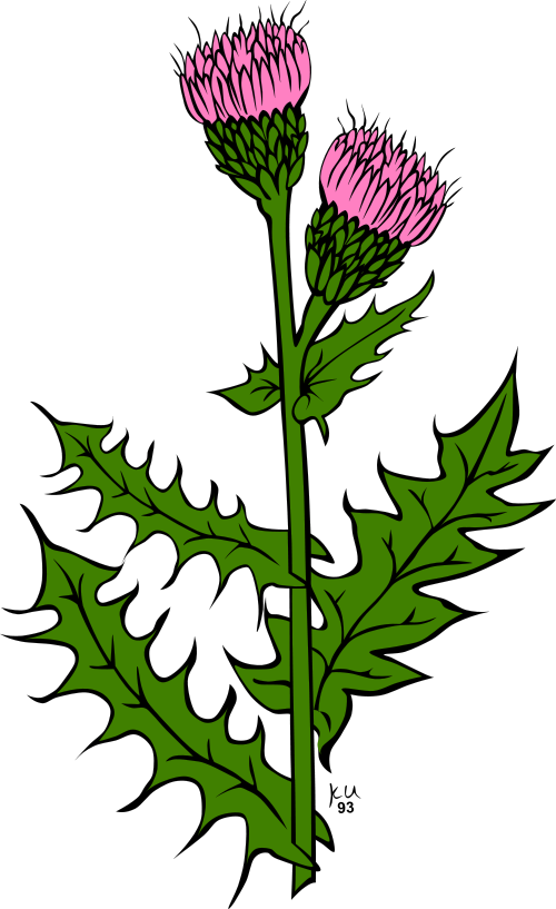 Thistle clipart #17