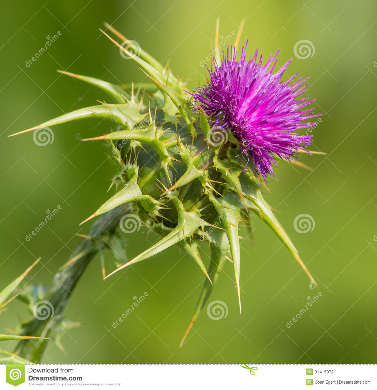 Creeping Thistle In Flower Stock Photography.