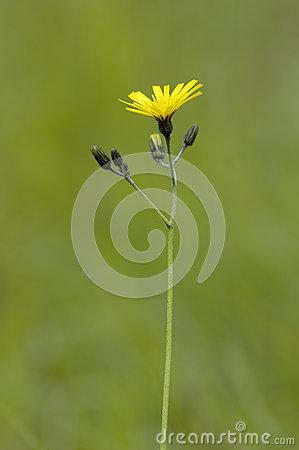 Hawksbeard Stock Photos, Images, & Pictures.