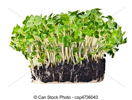 Stock Photos of Fresh mustard and cress set against a white.