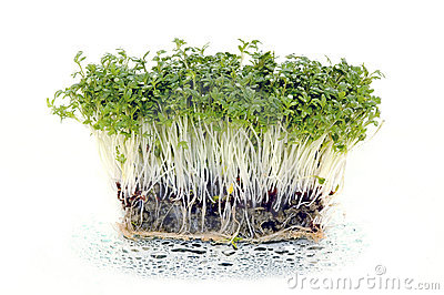Fresh Cress Salad With Water Drops Royalty Free Stock Photos.