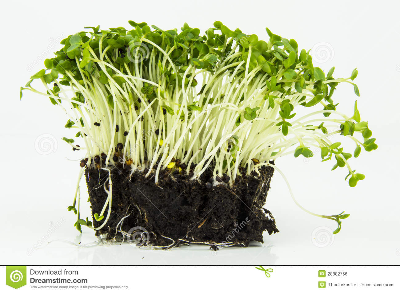 Mustard And Cress Stock Images.