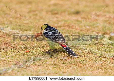 Stock Photography of Crested barbet k17990001.