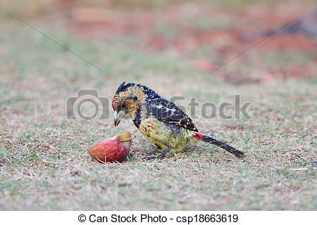 Stock Photography of Crested barbet eating a red apple on a green.