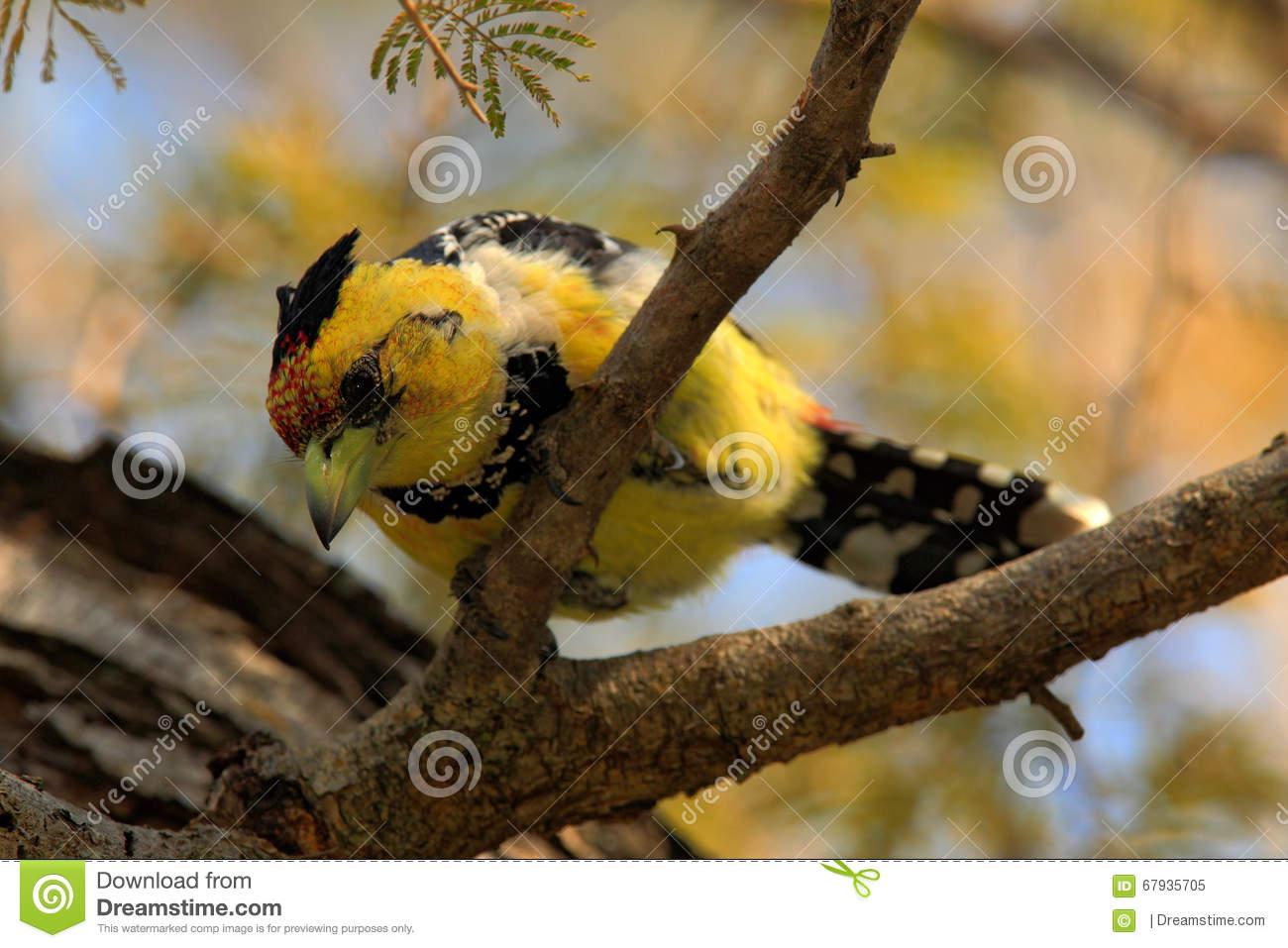 Yellow Birds Crested Barbet, Trachyphonus Vaillantii, Chobe.