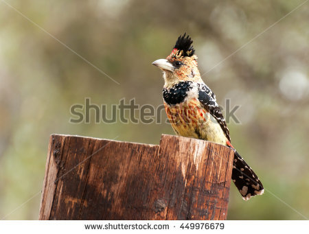 """crested_barbet"""" Stock Photos, Royalty."""