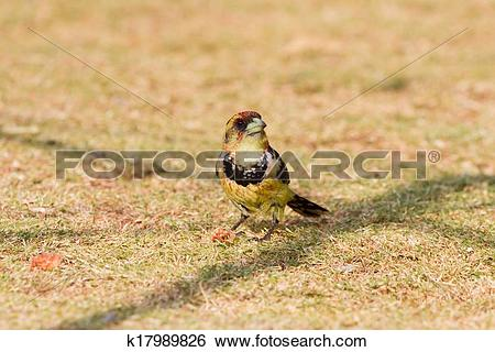Stock Images of Crested barbet k17989826.