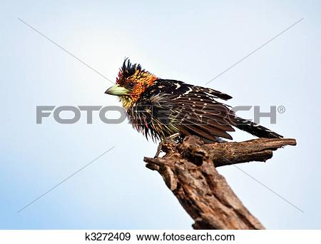 Stock Photograph of Wet Crested Barbet sitting on a branch to get.