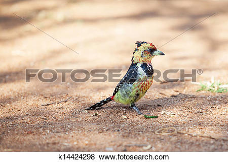 Pictures of Crested barbet scavenging for food on the ground.