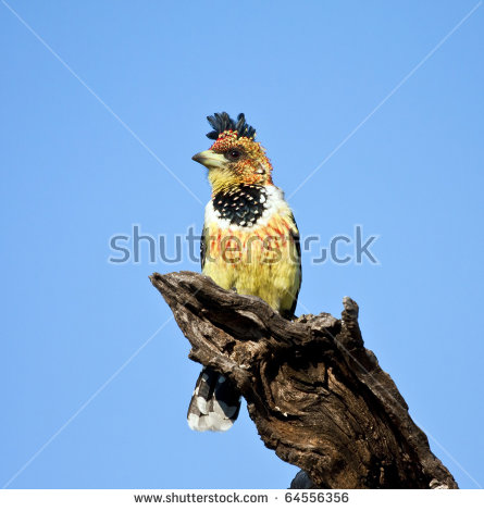 Wild crested barbet Stock Photos, Images, & Pictures.