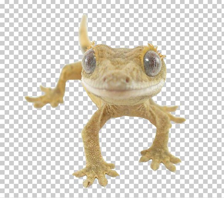 Crested Gecko Lizard Reptile Gekkota PNG, Clipart, Agama.