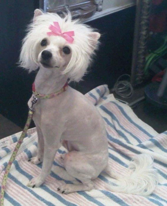 1000+ images about chinese crested it on Pinterest.