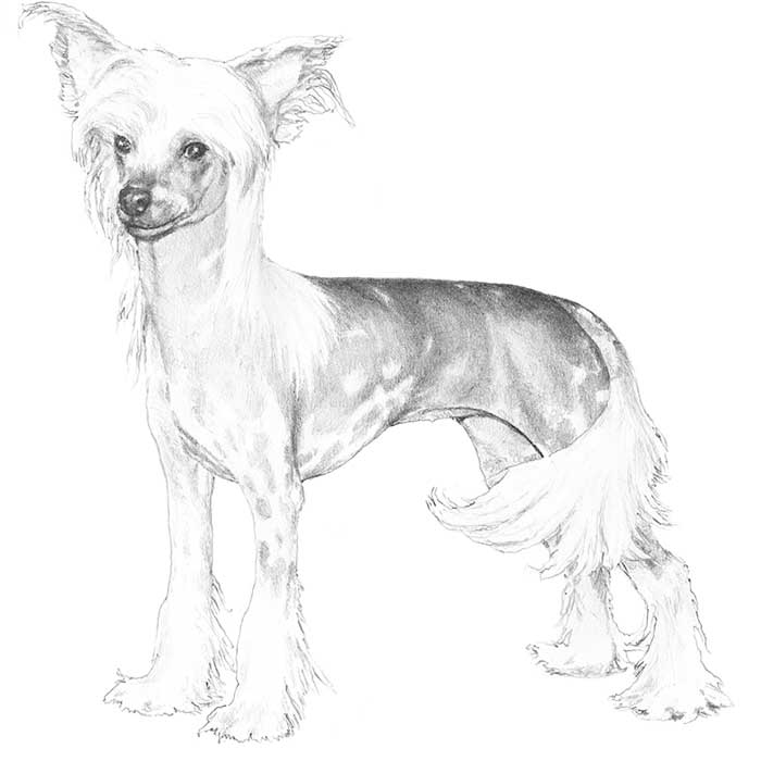 Chinese Crested Dog Breed Information.