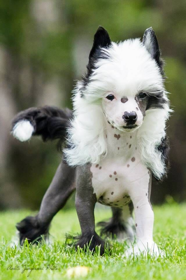 1000+ ideas about Chinese Crested Dog on Pinterest.