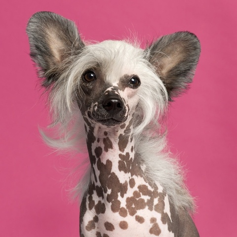 1000+ images about chinese crested dog on Pinterest.