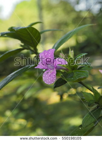 Philippine Violet Stock Images, Royalty.
