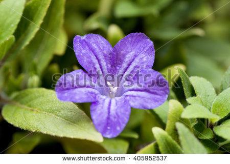 Philippine Violet ภาพสต็อก, ภาพและเวกเตอร์ปลอดค่าลิขสิทธิ์.