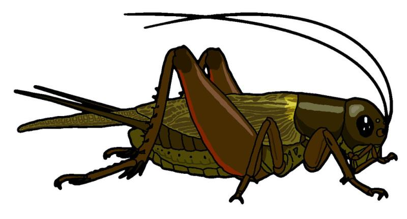 Brown Cricket Insect Clipart.