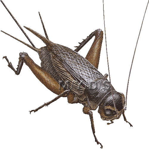 Crickets clipart #9