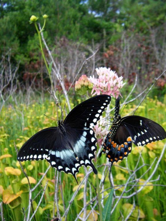 Spicebush Swallowtail (Papilio troilus)..