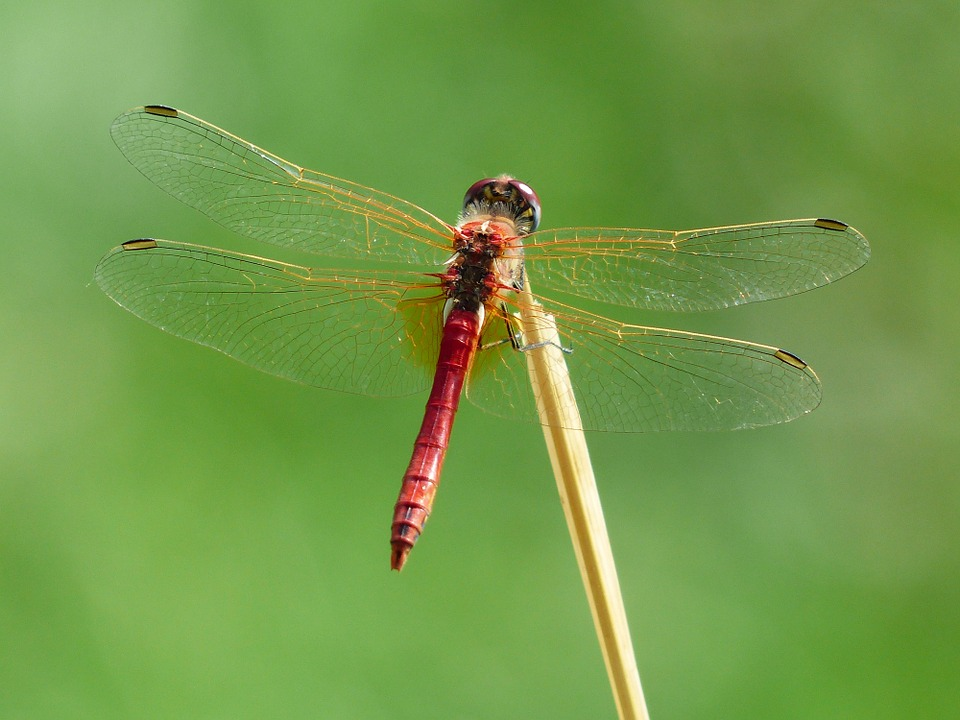Free photo: Dragonfly, Red, Animal, Insect.