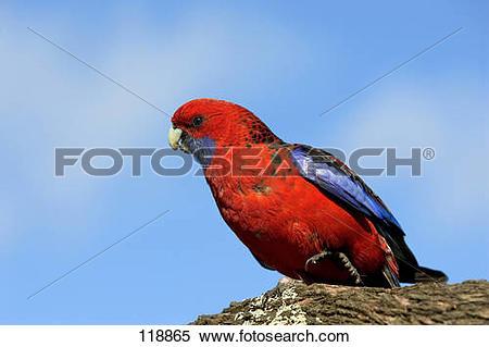 Stock Image of Crimson Rosella.